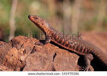 nile monitor lizard reptiles and amphibians warm-blooded animals kruger national park south africa - stock photo