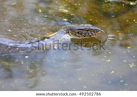Nile monitor tongue touching water