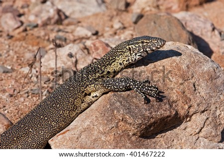 Nile monitor, varanus niloticus - stock photo