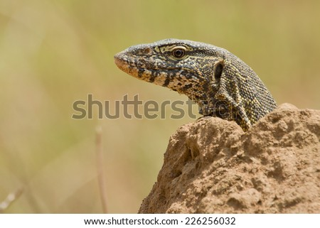Nile monitor (Varanus niloticus) at a Nature Reserve in South Africa - stock photo