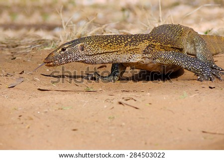 NILE MONITOR VARANUS NILOTICUS in SAMBURU National Reserve Kenya - stock photo