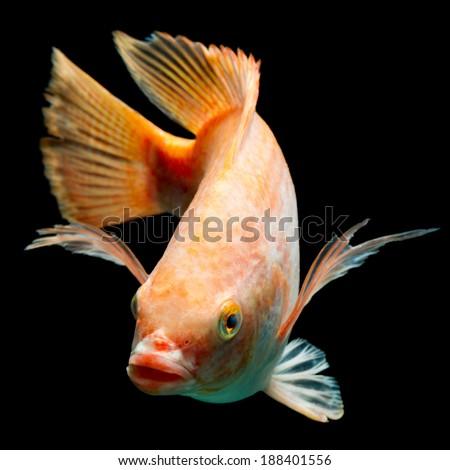 Nile or red  tilapia, Oreochromis niloticus, isolated on black, studio aquarium shot. - stock photo
