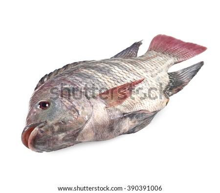 Nile tilapia fish isolated on white background - stock photo