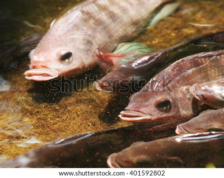 Nile tilapia, Mango fish, Nilotica, Oreochromis niloticus, young fish in gray swimming in clear water under sunlight close up in a pond - stock photo