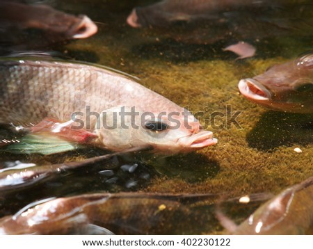 Oreochromis stock photos royalty free images vectors for Tilapia swimming