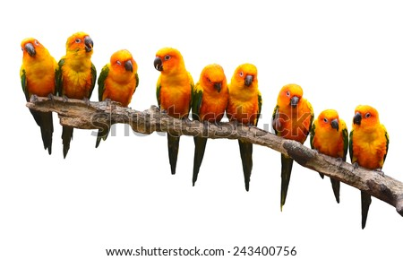 Nine of Sun Conure Parrot bird perching on a branch on white background - stock photo