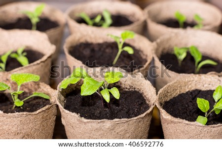 Nine peat pots with eggplant sprouts
