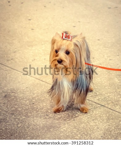 NIZHNY NOVGOROD, RUSSIA - JULY 14, 2013:  Outdoor exhibition of dogs of different breeds. Dog close up - stock photo