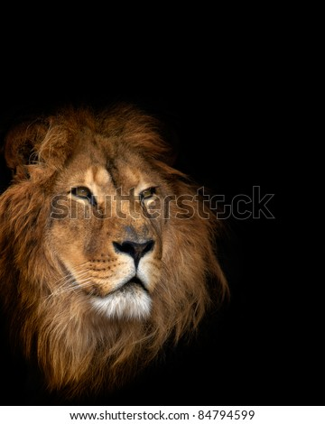 noble lion on a black background - stock photo