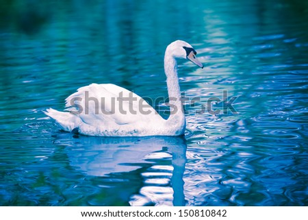 Noble swan with reflection in the water