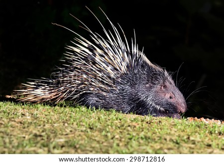 Nocturnal animals Malayan porcupine(Hystrix brachyura) in nature at Kaengkrajarn national park,Thailand  - stock photo