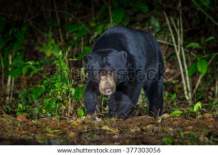 Nocturnal animals Malayan sun bear, Honey bear (Ursus malayanus) come out from the forest in real nature in night time at Keng Krachan National Park,Thailand