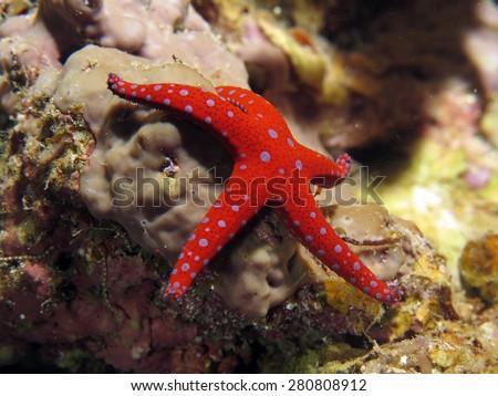 Nocturnal Ghardaqa sea star - stock photo
