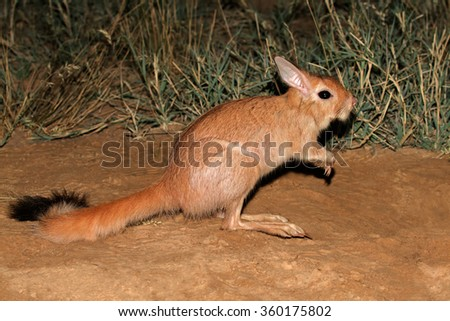 Nocturnal South African springhare (Pedetes capensis) in natural habitat - stock photo