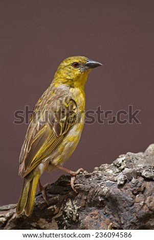 Non-breeding Southern Masked-Weaver; Ploceus velatus  - stock photo