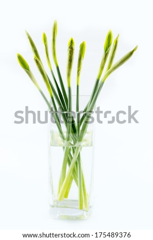 Non full-blown green pretty daffodil stems bouquet on white isolated background - stock photo