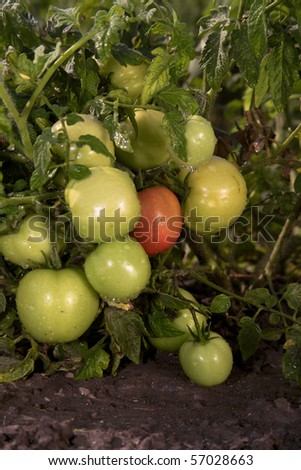 Non-polluting method of cultivation of  tomatoes on a farm