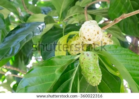 Noni fruit on the tree, Morinda citrifolia - stock photo