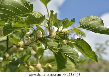 Noni or Morinda citrifolia, great morinda, Indian mulberry, beach mulberry, or cheese fruit on tree. - stock photo