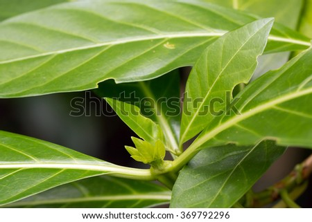 Noni's leaves and bud (Morinda citrifolia)