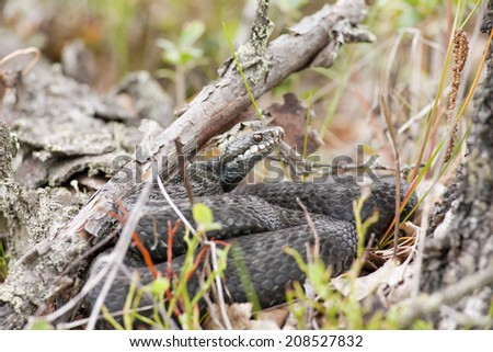 Nordic viper, adder in their habitats. Sticks, leaves and brushwood. Close up.