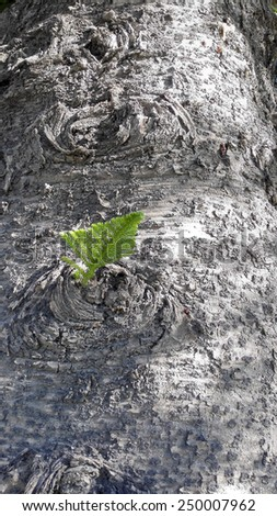 Norfolk Island Pine tree bark with a tiny green twig growing right out of the trunk, - stock photo