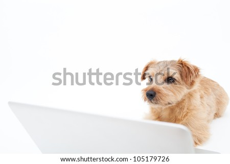 Norfolk terrier dog and laptop computer, isolated on white background - stock photo