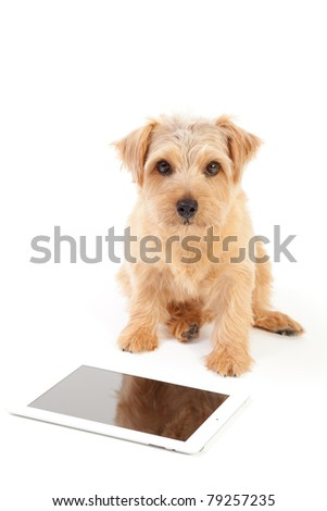 Norfolk terrier dog tablet computer isolated stock photo safe to norfolk terrier dog and tablet computer isolated on white background voltagebd Choice Image