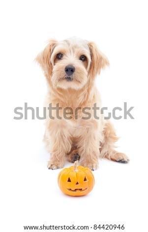Norfolk terrier dog with Halloween jack-o-lantern, Isolated on white background.