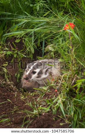 North American Badger (Taxidea taxus) Tongue Out - captive animal