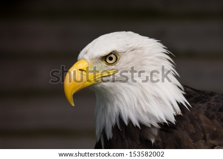 North American Bald Eagle profile - stock photo