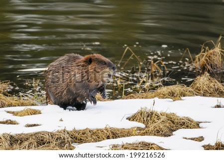 North American beaver in a mountain pond in the spring - stock photo