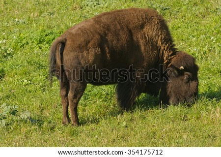 North American Bison in San Francisco's Golden Gate park - stock photo
