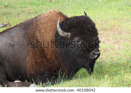 North American Bison relaxing in Yellowstone National Park - stock photo
