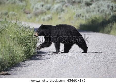 North American Black Bear crossing road in Yellowstone National Park - stock photo