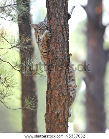 north american bobcat climbing tree , yellowstone national park, idaho / wyoming, united states. exotic feline lynx cat in forest looking at camera usa - stock photo