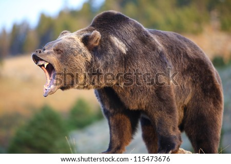North American Brown Bear (grizzly) Growling - stock photo
