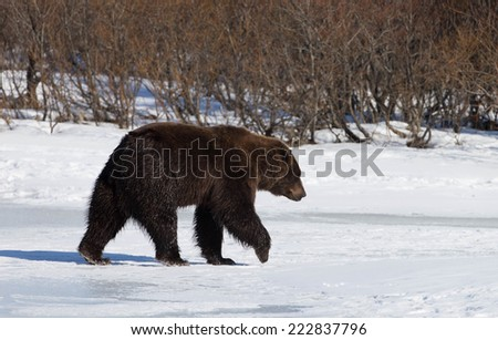 North American Brown (grizzly) Bear - stock photo