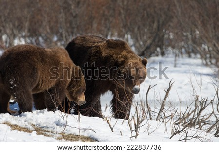 North American Brown (Grizzly) Bears in Alaska in snow field