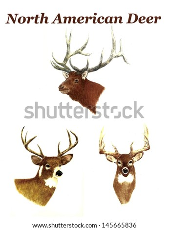 North American Deer - stock photo