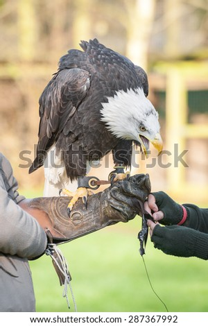 north american eagle on the arm of an expert falconry handler - stock photo