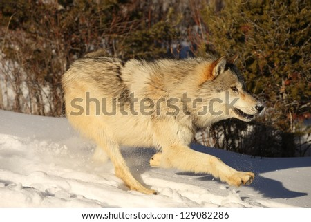 North American Grey Wolf running in snow - stock photo