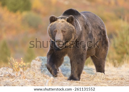 North American Grizzly Bear at sunrise in Western USA - stock photo