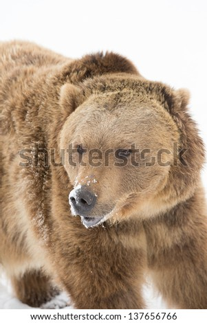 North American Grizzly Bear or Brown Bear
