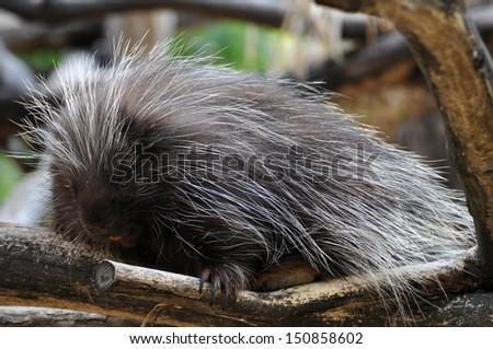 North American Porcupine  - stock photo