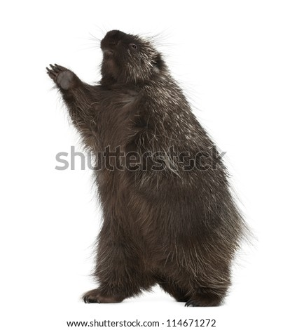 North American Porcupine, Erethizon dorsatum, also known as Canadian Porcupine or Common Porcupine standing on hind legs, against white background - stock photo