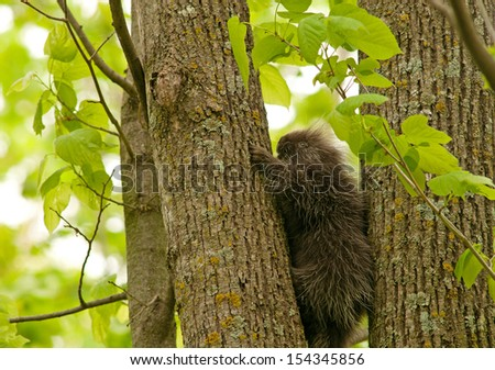 North American porcupine, Erethizon dorsatum, climbing a tree trunk - stock photo