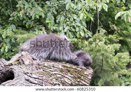 North American Porcupine (Erethizon dorsatum) mother and baby walk on forest log. - stock photo