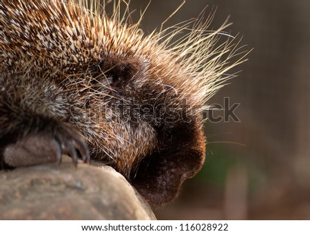 North American porcupine portrait - stock photo