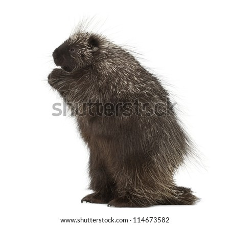 North American Porcupine standing on hind legs, Erethizon dorsatum, also known as Canadian Porcupine or Common Porcupine against white background - stock photo